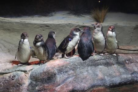 Blue Penguins.