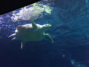 Sea turtles are my favorite sea animal.